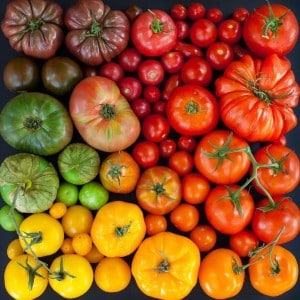 A large number of yellow, green, purple, and red garden tomatoes